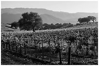 Vineyards, Santa Barbara Wine country. California, USA ( black and white)