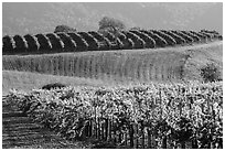 Rolling hills and Vineyards, Santa Barbara Wine country. California, USA ( black and white)
