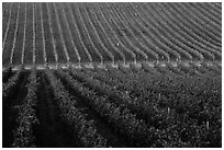 Rows of wine grapes, Santa Barbara Wine country. California, USA ( black and white)