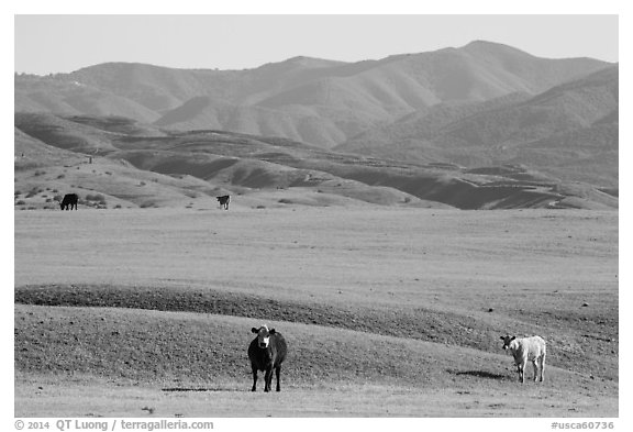 Cattle and Temblor Range. California, USA (black and white)