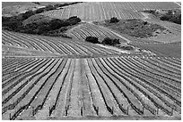 Vineyard. California, USA ( black and white)