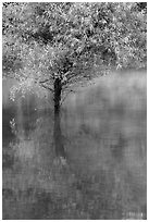Tree rising out of water, Jenkinson Lake, Pollock Pines. California, USA ( black and white)