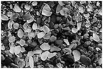 Seaglass close-up. Fort Bragg, California, USA ( black and white)