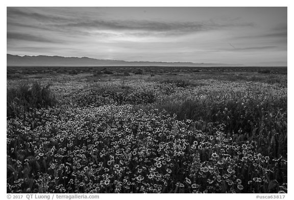 Dense wildflower mat and Temblor Range at sunrise. Carrizo Plain National Monument, California, USA (black and white)