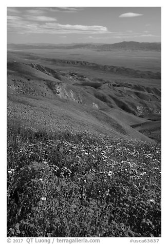 Field of hillside daisies and phacelia on Temblor Range hills above Carrizo Plain. Carrizo Plain National Monument, California, USA (black and white)