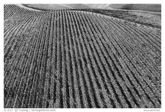 Aerial view of rows of vines on hill in autumn. Livermore, California, USA (black and white)