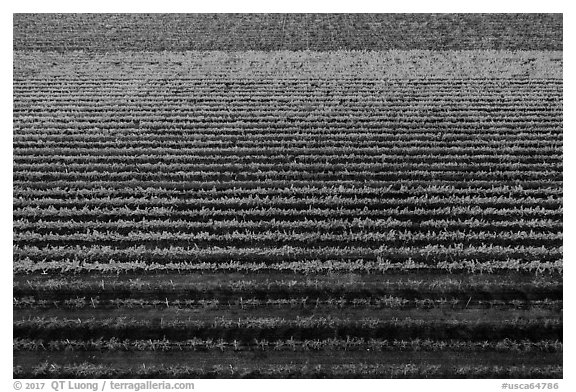 Aerial view of multicolored rows of vines in autumn. Livermore, California, USA (black and white)