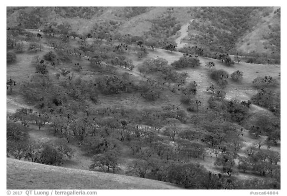 Hillside with oaks in winter, Del Valle Regional Park. Livermore, California, USA (black and white)