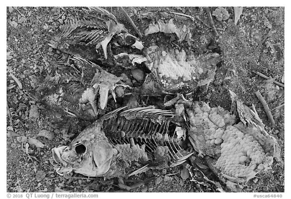 Close-up of dead fish, Bombay Beach. California, USA (black and white)