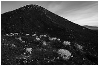 Bushes on Amboy Crater. Mojave Trails National Monument, California, USA ( black and white)