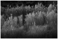 Backlit river vegetation, Afton Canyon. Mojave Trails National Monument, California, USA ( black and white)