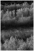 Willows along Mojave River, Afton Canyon. Mojave Trails National Monument, California, USA ( black and white)