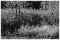 Willows in winter, Afton Canyon. Mojave Trails National Monument, California, USA ( black and white)