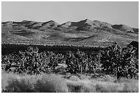 Grasses, Joshua Trees and mountains. Castle Mountains National Monument, California, USA ( black and white)