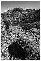 Barrel cactus, Yucca, Castle Mountains. Castle Mountains National Monument, California, USA ( black and white)