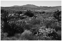 Desert plants and New York Mountains. Castle Mountains National Monument, California, USA ( black and white)