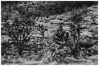 Joshua Trees and cacti. Castle Mountains National Monument, California, USA ( black and white)