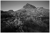 Cactus and Hart Peak, twilight. Castle Mountains National Monument, California, USA ( black and white)