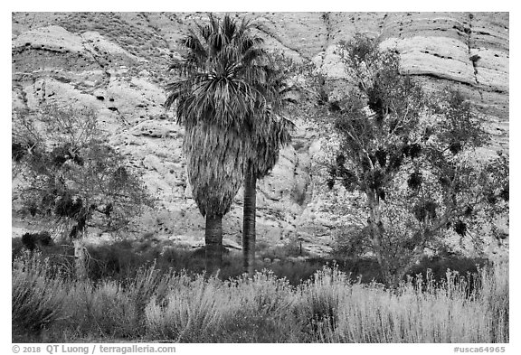 Palm trees and cliffs, Whitewater Preserve. Sand to Snow National Monument, California, USA (black and white)