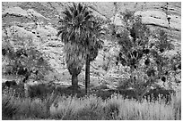 Palm trees and cliffs, Whitewater Preserve. Sand to Snow National Monument, California, USA ( black and white)