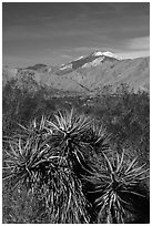Yuccas and snow-capped San Gorgonio Mountain, Mission Creek Preserve. Sand to Snow National Monument, California, USA ( black and white)