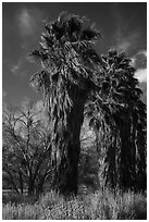 California native palm trees, Big Morongo Canyon Preserve. Sand to Snow National Monument, California, USA ( black and white)