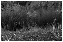 Thickets of cattails and backlit trees, Big Morongo Canyon Preserve. Sand to Snow National Monument, California, USA ( black and white)