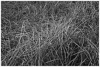 Reeds in winter, Big Morongo Canyon Preserve. Sand to Snow National Monument, California, USA ( black and white)