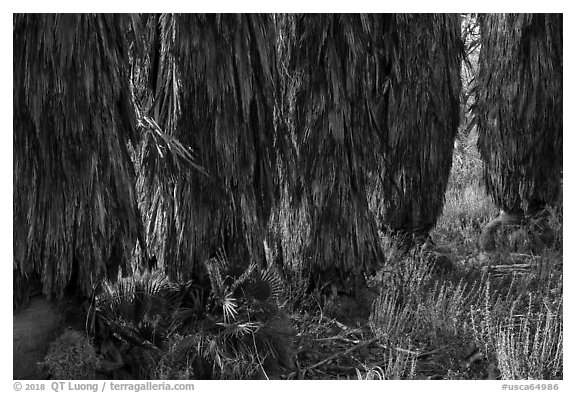 Trunks of palm trees, Big Morongo Canyon Preserve. Sand to Snow National Monument, California, USA (black and white)