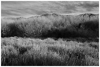 Goldenbush and bare trees in winter, Big Morongo Canyon Preserve. Sand to Snow National Monument, California, USA ( black and white)