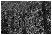 Conifer forest, Long Valley, San Jacinto Mountain. Santa Rosa and San Jacinto Mountains National Monument, California, USA ( black and white)