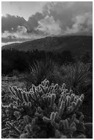Cacti and Santa Rosa Mountains with clouds colored by sunrise. Santa Rosa and San Jacinto Mountains National Monument, California, USA ( black and white)