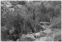 Trees in creek bed with remnants of autumn foliage, Tahquitz Canyon, Palm Springs. Santa Rosa and San Jacinto Mountains National Monument, California, USA ( black and white)