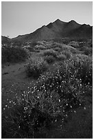 Annual desert wildflowers at dusk. Mojave Trails National Monument, California, USA ( black and white)