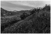 Wildflowers at sunrise with distant snowy San Giorgono Mountain. Sand to Snow National Monument, California, USA ( black and white)