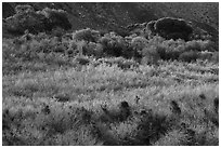 Green riparian desert vegetation, Mission Creek. Sand to Snow National Monument, California, USA ( black and white)
