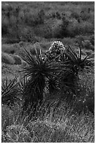 Yucca in bloom, Mission Creek. Sand to Snow National Monument, California, USA ( black and white)