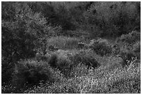 Lush vegetation in the spring, Mission Creek. Sand to Snow National Monument, California, USA ( black and white)