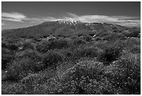 Brittlebush in bloom and San Jacinto Mountains. Sand to Snow National Monument, California, USA ( black and white)