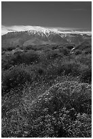 Brittlebush in bloom and San Jacinto Peak. Sand to Snow National Monument, California, USA ( black and white)