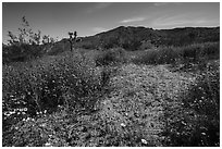 Desert Wildflowers and Flat Top Butte. Sand to Snow National Monument, California, USA ( black and white)