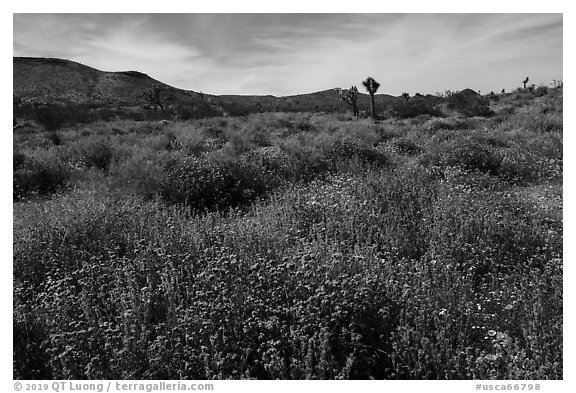 Desert wildflower carpet, Flat Top Butte. Sand to Snow National Monument, California, USA (black and white)