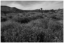 Desert wildflower carpet, Flat Top Butte. Sand to Snow National Monument, California, USA ( black and white)
