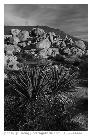 Yucca and boulders, Flat Top Butte. Sand to Snow National Monument, California, USA (black and white)