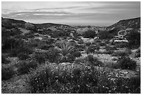 Wildflowers and yucca in valley between Flat Top Butte and Black Lava Butte. Sand to Snow National Monument, California, USA ( black and white)