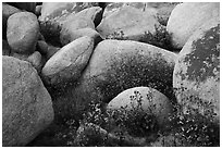 Wildflowers growing between boulders. Sand to Snow National Monument, California, USA ( black and white)