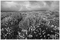 Lupines, California Poppies, and rainbow early morning. Antelope Valley, California, USA (black and white)