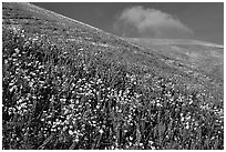 Carpet of yellow and purple flowers, Gorman Hills. California, USA (black and white)