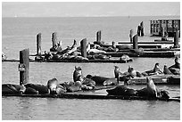 Sea Lions, Fisherman's Wharf. San Francisco, California, USA (black and white)