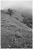 Poppies and fog near the summit, Mt Diablo State Park. California, USA ( black and white)